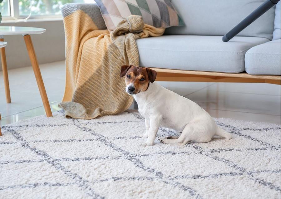 Comment enlever les poils d'animaux de votre domicile ?
